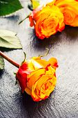 picture of yellow rose  - Rose - JPG