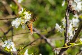 pic of butterfly-bush  - Butterfly on a Prunus Cerasifera tree with white flowers - JPG