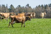 pic of dairy cattle  - Jersey cattle on a green field in the springtime - JPG