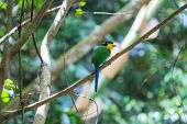 stock photo of tail  - colorful bird long tailed broadbill on tree branch in forest - JPG