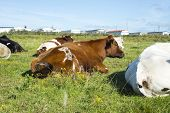picture of caravan  - cattle resting next to a caravan park in ballybunion county kerry ireland on the wild atlantic way - JPG