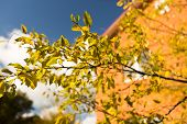 picture of october  - Plum tree at Fall - JPG
