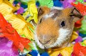 stock photo of skinny  - A little brown skinny pig in a lei of bright rainbow colours