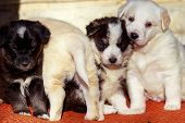 foto of puppy dog face  - wonderful little puppy dog group of shepherd dog - JPG