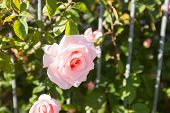 stock photo of climbing roses  - Pink rose on metal fence in the sun - JPG