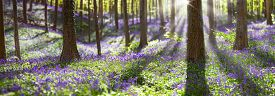 stock photo of wildflowers  - bluebell spring wildflowers in Haller bos - JPG