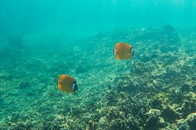 picture of butterfly fish  - Underwater photography of a couple of butterfly fishes - JPG