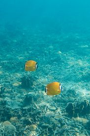 stock photo of butterfly fish  - Underwater photography of a couple of butterfly fishes - JPG
