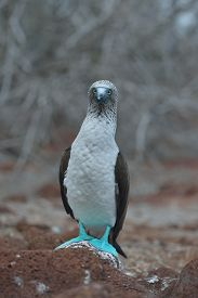 pic of boobies  - blue-footed booby is perching on the ground ** Note: Soft Focus at 100%, best at smaller sizes - JPG