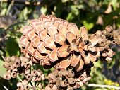 Or Yehuda Fir Cone On A Eucalyptus 2010