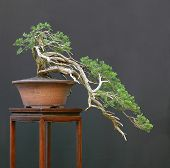 Sabna Juniper Bonsai Cascade
