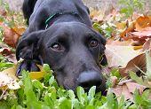 Labrador And Autumn