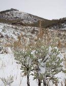 Frozen Sagebrush