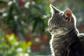image of domestic cat  - gray cat side view portrait in sunlight - JPG
