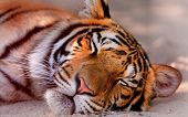 Постер, плакат: Sleeping Tiger