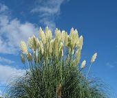 Pampas Grass W