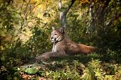 Mountain lion resting
