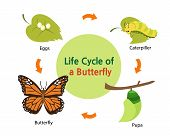 Постер, плакат: Life cycle of a butterfly