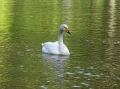 White swan on green water