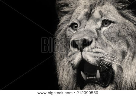 Lion with open