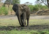 Elephant bull digging in the mud