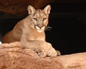 picture of cougar  - A Cougar looking out from a cave - JPG