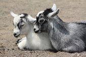 Cabras de bebé