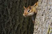 foto of full cheeks  - A Chipmunk with cheeks full - JPG