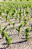 vineyard, Bordeaux Region, France