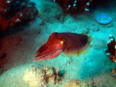 foto of devilfish  - Underwater inhabitants of the South - JPG