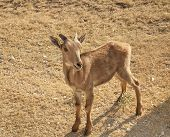 Very Young Little Aoudad