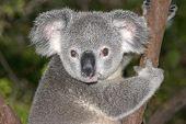 Koalasit