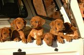 foto of cute dog  - A beautiful litter of red wheaten African Rhodesian Ridgeback hound dog puppies with cute expression in the faces standing at the door of a pick - JPG