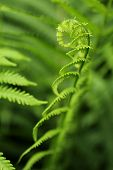 Fern plant growing macro