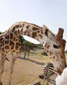 Giraffe Arched Neck