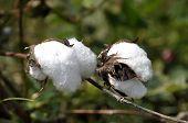 Cotton Plant Outdoor Farm Thailand