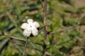 Cotton Thailand Plant Outdoor Farm