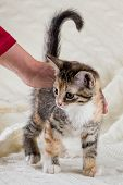 Portrait Of Tabby Kitten With Few Red Spots And White Chest And Hand Which Rub Her poster