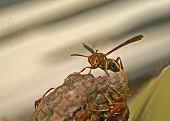 Angry Paper Wasp Grey Strip Background
