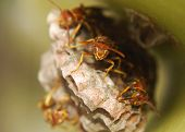 Trio Of Angry Paper Wasp