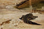 Alligator In Thailand
