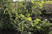 Set Of Green Branches Of Young Hop With Leaves On Blured Background. Brewing. Ingredient. Herbal Med poster