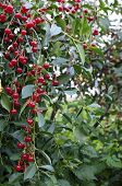 Cherries Hanging On A Cherry Tree Branch.red Organic Cherries On A Branch Of Cherry Tree,branch-macr poster
