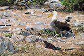 Galapagos Islands Galapagos albatross aka waved albatross walking by christmas iguana on Espanola Is poster