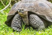 Animals. Galapagos Giant Tortoise on Santa Cruz Island in Galapagos Islands. Animals, nature and wil poster