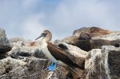 Galapagos animals: Blue-footed Booby - Iconic and famous galapagos animals and wildlife. Blue footed poster