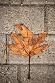 Withered Maple Leaf Fallen Over Grey Pavement Concrete Blocks. poster