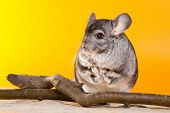 Silver Chinchilla Sitting Near The Branch