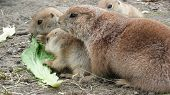A mother prairie dog with two