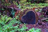 Heart Shaped Fallen Tree In The San Francisco, California  Redwood Forest National Park. poster